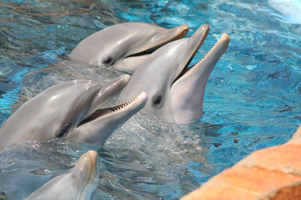 bottlenpose-dolphins