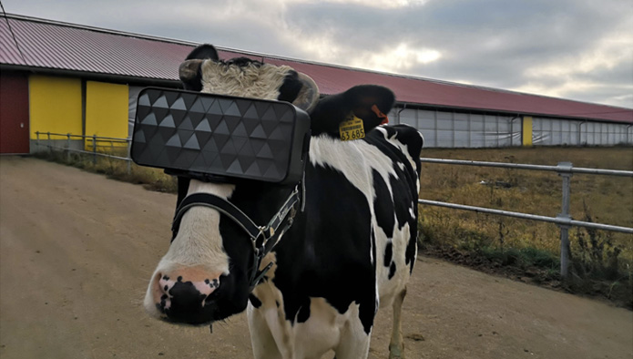 Cow-wearing-VR-headets